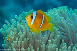 BD-100921-Fury-Shoal-1935-Amphiprion-bicinctus.-Rüppell.-1830-[Twoband-anemonefish.-Tvåbandad-clownfisk].jpg